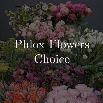 Phlox Flowers Choice